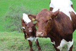Pinzgauer Rinder auf der Weide